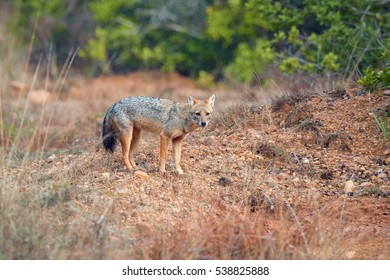 Male of Indian jackals, Canis aureus indicus, looking for prey. Jackal in breeding season.  Wilpattu, Sri Lanka.