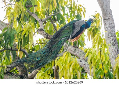 Male Indian Peafowl (Pavo cristatus) grooming its feathers on a big tree branch