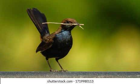 a male indian robin isolated
