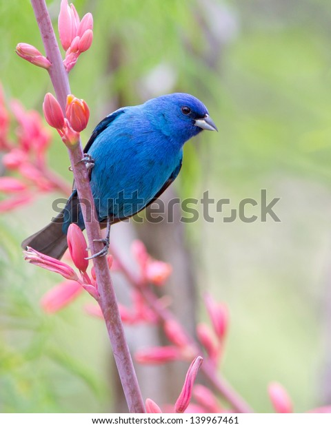 A male Indigo Bunting (Passerina cyanea) perched on a Yucca plant in the Texas Hill Country