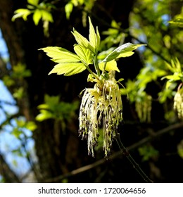 male inflorescence of an ash-leafed maple tree growing in the park above the white river in the city of Bialystok in the Podlasie region in Poland - Shutterstock ID 1720064656