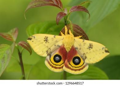 male io moth