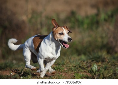Male jack russell terrier