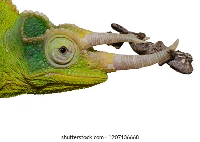 Chameleon what is personality a What Breed