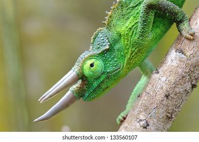 Male Jackson's Chameleon (Trioceros jacksonii)