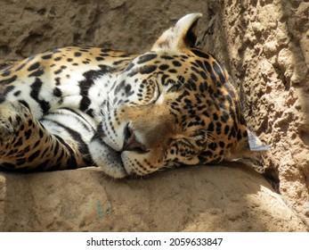 Male Jaguar sleeping on big rock close-up face photo