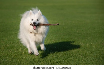 A male Japanese Spitz running at a park and holding a stick in his mouth.