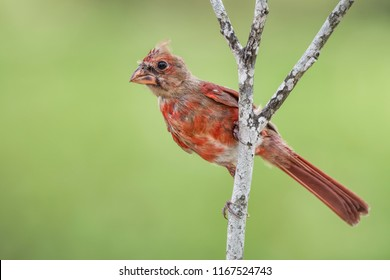 Male Juvenile Northern Cardinal Perched on Branch in August in Louisiana