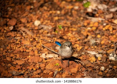 male juvenile splendid fairy wren close up in western australia