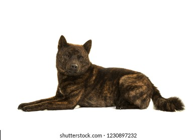 Male Kai Ken dog the national japanese breed lying down seen from the side isolated on a white background