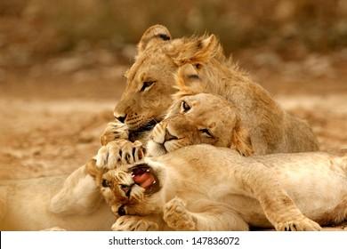 Male Kalahari Lion