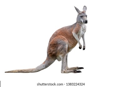 Male kangaroo isolated on white background. Big kangaroo full lengths, side view. The kangaroo is a marsupial from the family Macropodidae.