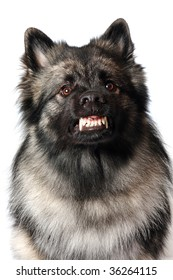 A male Keeshond growls and shows his teeth.