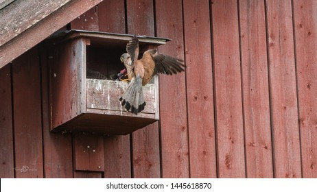 The male Kestrel (Falco tinnunculus) deliver a fresh vole to the five nestlings in the nest at the barn