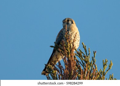 Male kestrel in the wild, perched on the tip of a branch