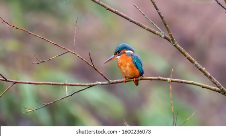 Male Kingfisher Perched on a Branch