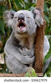 Male koala giving a mating call