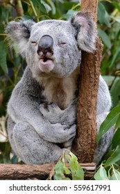 Male koala giving a mating call