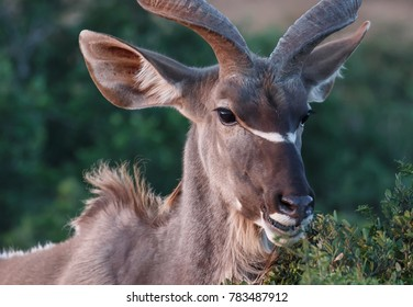 Male Kudu antelope with huge ears feeding on leaves