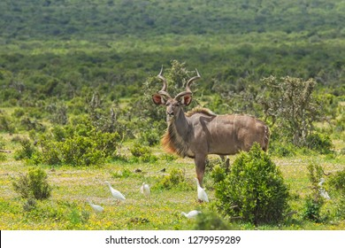 Male kudu antelope standing in a clearing with little egret birds in the grass eating ticks and flees
