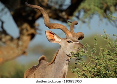 Male kudu antelope (Tragelaphus strepsiceros) feeding in natural habitat, South Africa