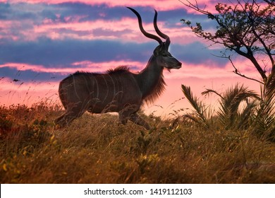 male Kudu buck with big horns in the grassland of iSimangalisu wetland National Park at sunset, South Africa
