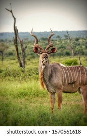 Male kudu on the lookout in Kruger National Park South Africa