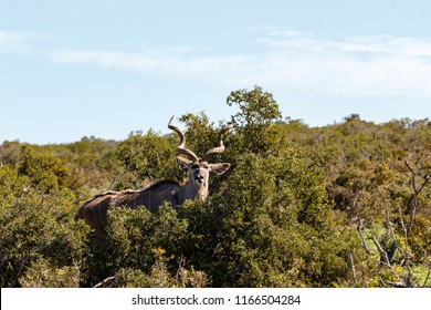 Male Kudu standing and hiding between the bushes in the field