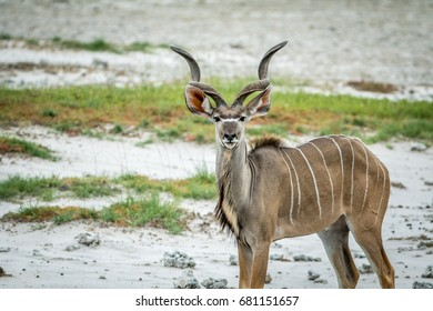 Male Kudu starring at the camera in the Etosha National Park, Namibia.