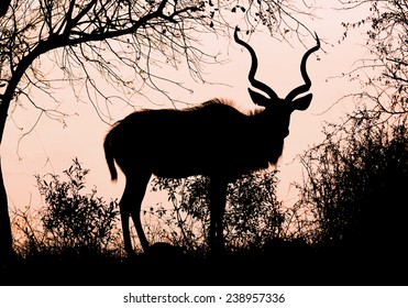 Male Kudu at Sunrise