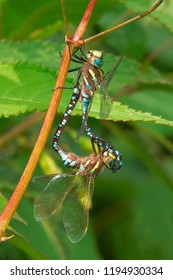 A male Lance-tipped Darner Dragonfly keeps a firm grip on a female and a pland stem while she mates with him. High Park, Toronto, Ontario, Canada.