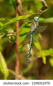 Male Lance-tipped Darner Dragonfly perched on a leaf. Presqu'ile Provincial Park, Brighton, Ontario, Canada.