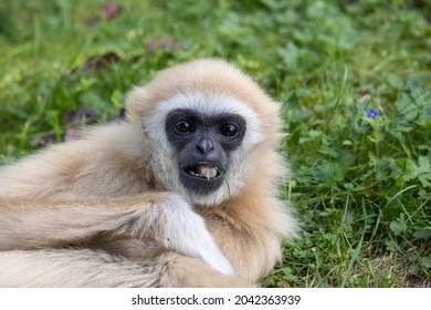 Male Lar Gibbon, Gary (Hylobates lar)