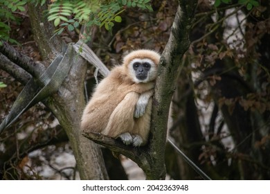 Male Lar Gibbon, Indah (Hylobates lar)