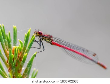 A male large red damselfly (Pyrrhosoma nymphula) resting on a pine tree.