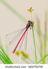 A male large red damselfly (Pyrrhosoma nymphula) resting on a sedge.