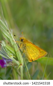 A male Large Skipper butterfly (Ochlodes sylvanus) resting on a vetch plant against a blurred natural background, Flamborough Head, East Yorkshire, UK