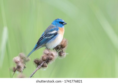 Male Lazuli bunting at Coquitlam BC Canada - Shutterstock ID 1741776821