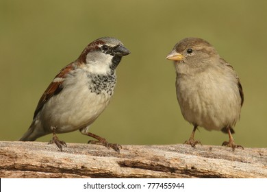 Male (left) and Female (right) House Sparrows (Passer domesticus) perched on a log with a green background
