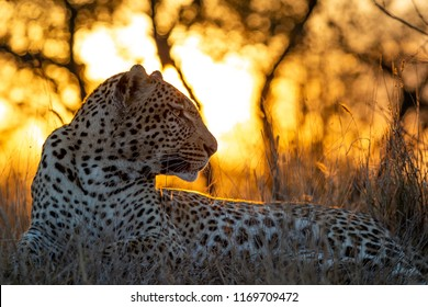 Male leopard at dusk with the sun setting in the back ground Image captured in the Greater Kruger National Park Panthera Pardus