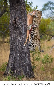 Male leopard with kill, Kruger National Park, South Africa