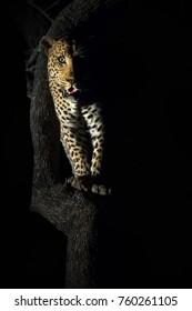 Male Leopard, Kruger National Park, South Africa