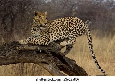 Male Leopard licking lips and looking back, Okonjima, Namibia