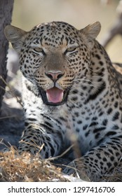 Male leopard resting at termite hill in afternoon sunlight in Moremi National Park, Botswana