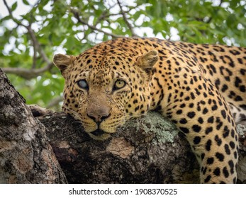 Male leopard in tree with one blinded eye