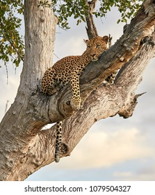 Male Leopard in tree at Zikomo, South Luangwa, Zambia