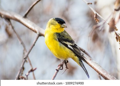 Male Lesser Goldfinch (Spinus psaltria) perched on a branch in a birch tree, south San Francisco bay area, California