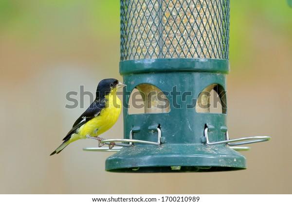 male-lesser-goldfinch-spinus-psaltria-60