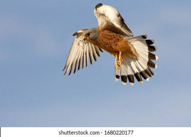 Male of Lesser kestrel flying, lesser, falcon, birds, kestrel