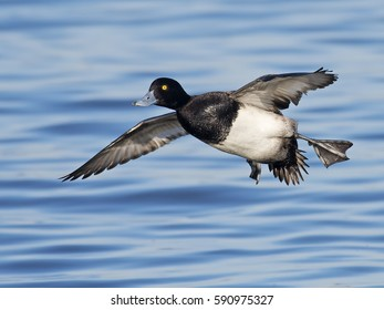 Male Lesser Scaup in Flight